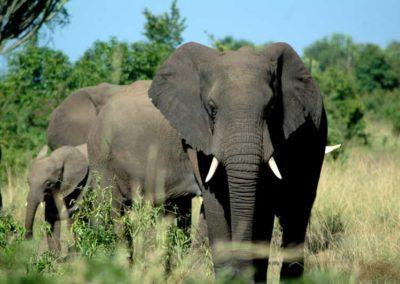 Queen Elizabeth National Park, elefanti