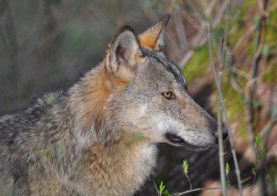 Un lupo nel Parco d'Abruzzo, Lazio e Molise