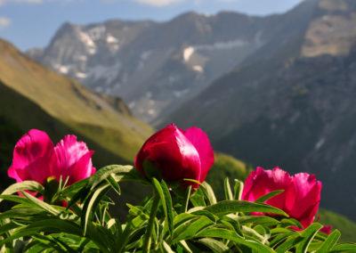 Peonie sui Monti Sibillini