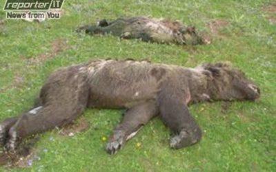37 TRAPPOLE MORTALI PER L'ORSO, E LO STATO STA A GUARDARE